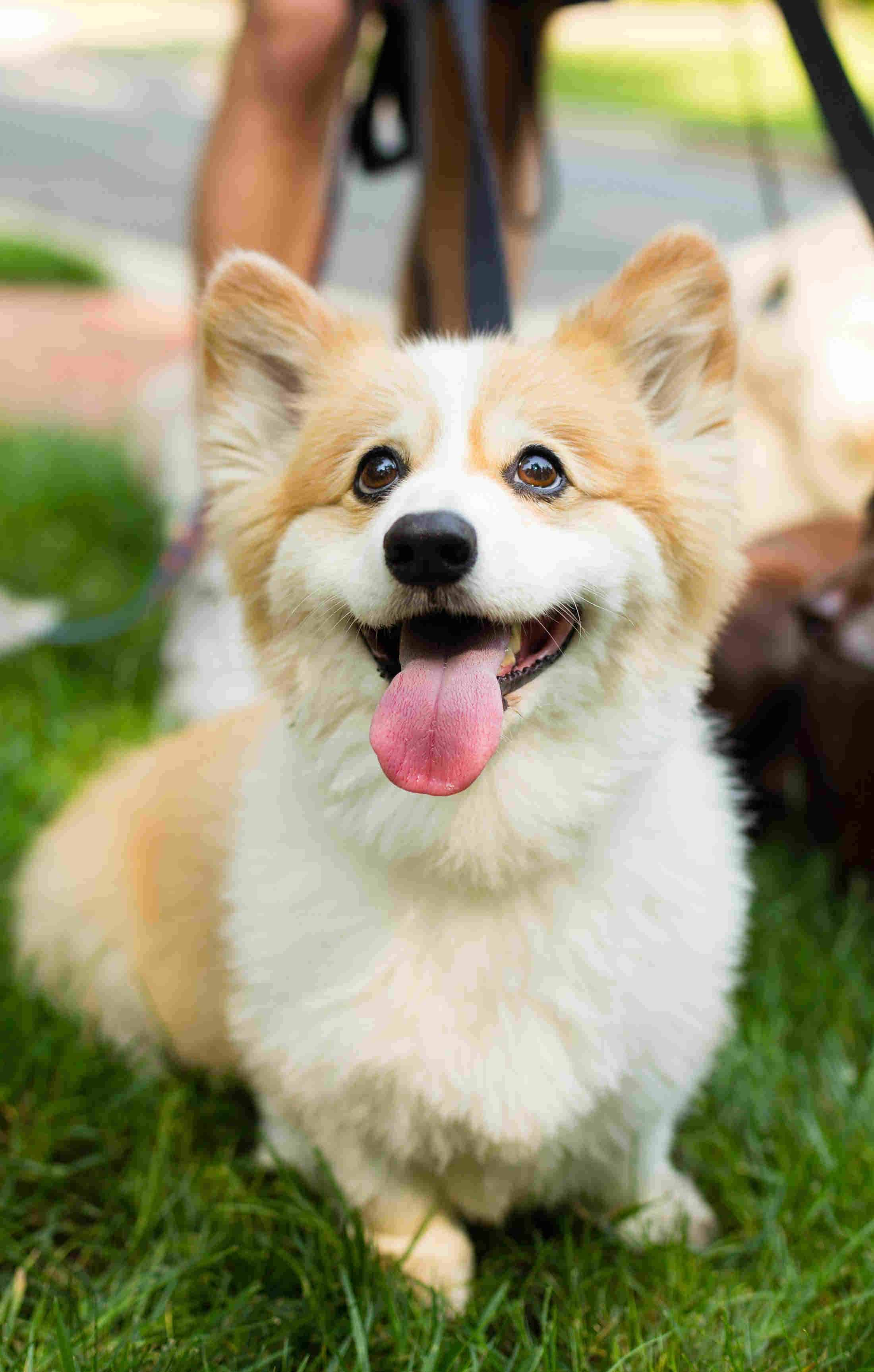 Happy Corgi